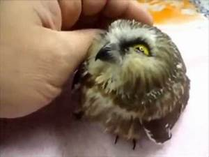 Smallest and The Cutest Little Owl - AWWW!! - YouTube