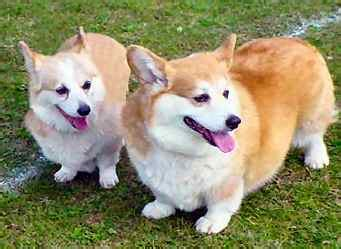 dog breed gallery pembroke welsh corgi loyal breeds