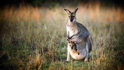 Kangaroo Rat Musky Mammals Facts Australia Species
