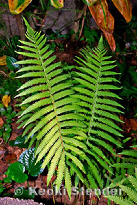 downy wood fern christella dentata