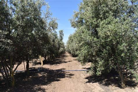 fruitless olive tree growth rate olive tree farm nursery careful selection delivery and planting