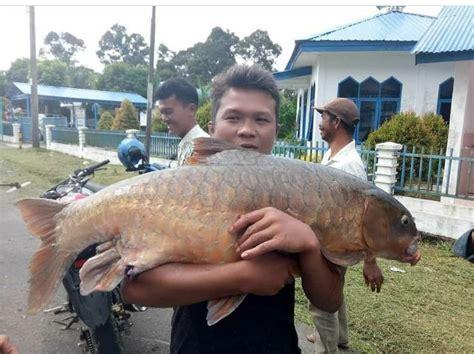 gambar ikan jurung
