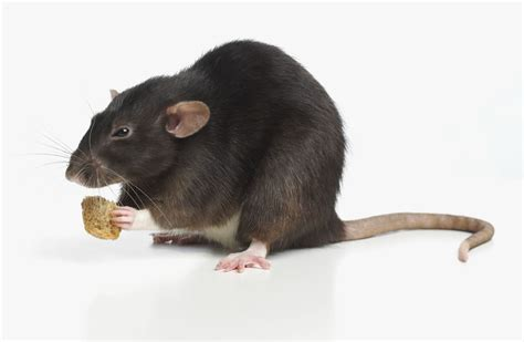 pet rat diet feeding rats rat food
