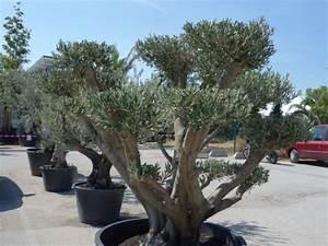 Quand Planter Lavande Dans Jardin : planter un olivier en pot ~ Dode.kayakingforconservation.com Idées de Décoration