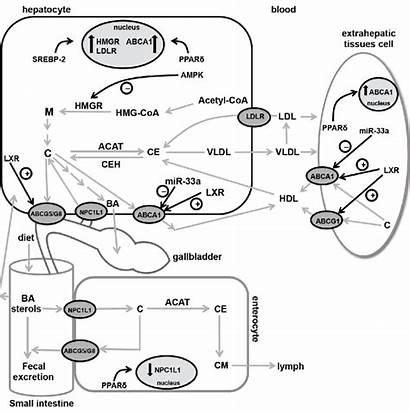 Cholesterol Liver Homeostasis Regulation Overview Protein Publication