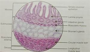 Histology Of Duodenum  U2013 Manage Your Time 1996
