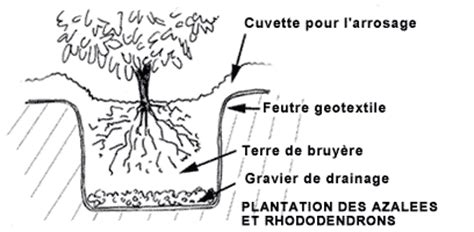 planter azal 233 es et rhododendrons gamm vert