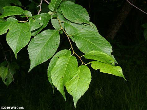leaf plum tree american plum prunus americana