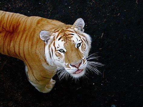 Color Variation Tiger Snsh