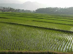 Java rice field growing water - rice fields Java