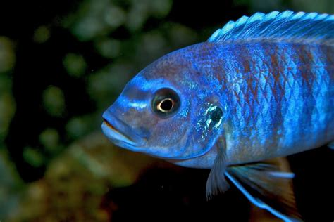 poisson africain aquarium eau douce les cichlid 233 s africains une famille color 233 e g 233 n 233 ralit 233 s animogen