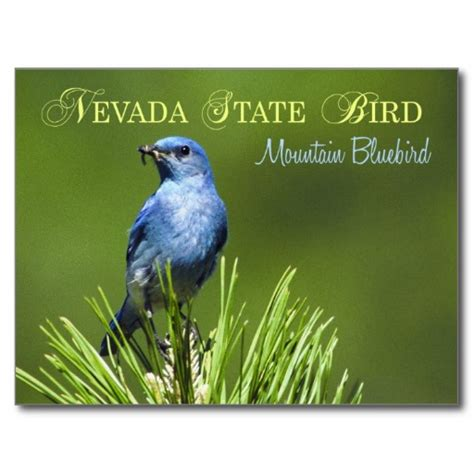 nevada state bird mountain bluebird postcard birds