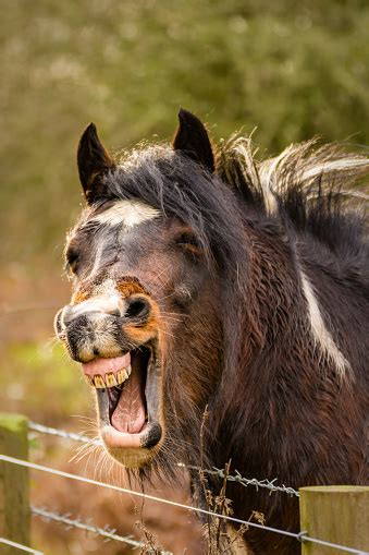 brown funny  horse laughing  teeth  stock