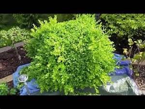 Buchsbaum Schablone Kaufen : buchsbaum schneiden rund ohne schablone travel xpm ~ Watch28wear.com Haus und Dekorationen