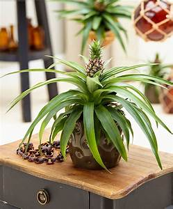 Plant D Ananas : plante ananas corona plantes bakker france garden patio landscape ananas plante ~ Melissatoandfro.com Idées de Décoration