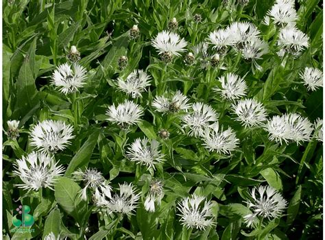 Latvijas stādi - Centaurea montana 'Alba' - kalnu dzelzene, šķirne