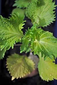 Pflanze Mit Fleischigen Blättern : shiso japanisches wunderkraut oder fauler zauber ~ Buech-reservation.com Haus und Dekorationen