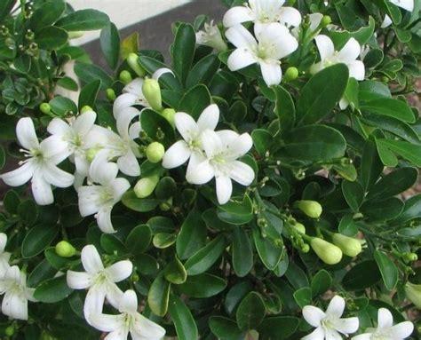 merawat tanaman bunga melati tukangtamanasri