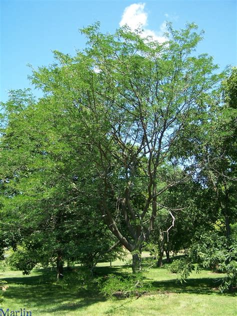 Water Locust Tree Gleditsia Aquatica North American