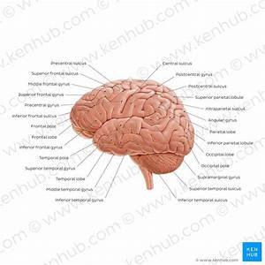 Parts Of The Brain  Learn With Diagrams And Quizzes