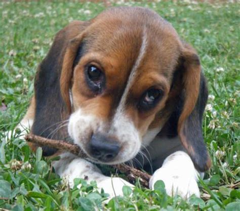 dachshund beagle dachshund mix puppies dogs