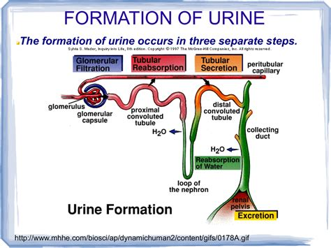 how urine is formed formation of urine