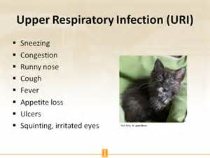 cat respiratory infection slides and notes for lecture vaccines for cats