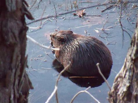 beaver dam wildlife management area elkins randolph