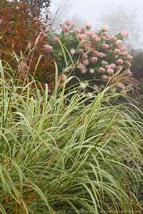 Miscanthus Sinensis Variegatus : miscanthus sinensis variegatus striped eulalia grass the gardener 39 s eden ~ Eleganceandgraceweddings.com Haus und Dekorationen