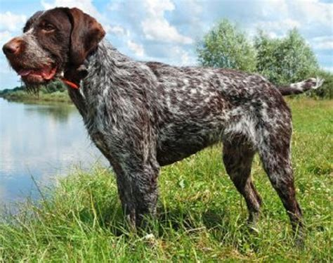 german wirehaired pointer shedding german wirehaired pointer history personality appearance