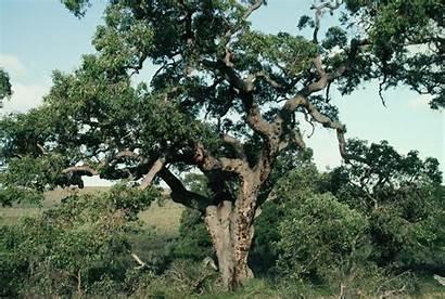 Marri Tree Powell Robert Western Corymbia Calophylla