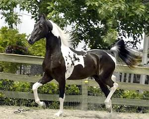 124 best images about Horse Color Galore: Tobiano on ...