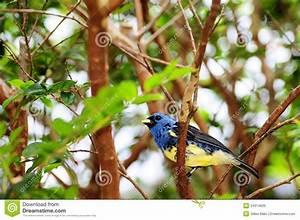 Oiseau Jaune Et Bleu : oiseau bleu et jaune de pinson photo stock image du nature sauvage 24314600 ~ Melissatoandfro.com Idées de Décoration