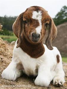 De 20  B U00e4sta Id U00e9erna Om Boer Goats P U00e5 Pinterest
