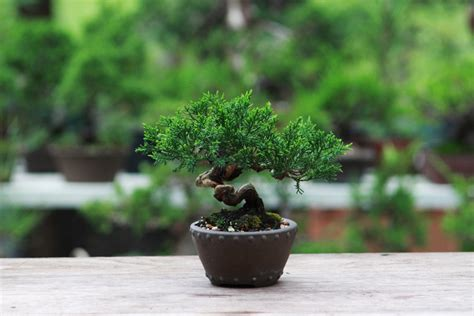 Bonsai Trees For Sale   Minnesota   Wagners Greenhouses