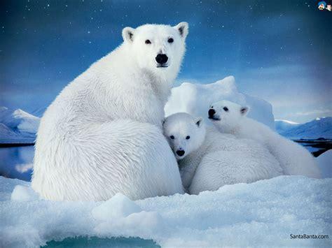 1024x768px 129.94 Kb Polar Bears #429994