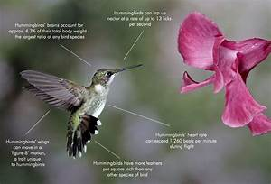Wiring Diagram Hummingbird