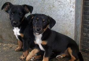 for sale 2 black and tan jack russell terrier | Wisbech ...