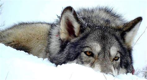 What Is The Wolf Spirit Animal