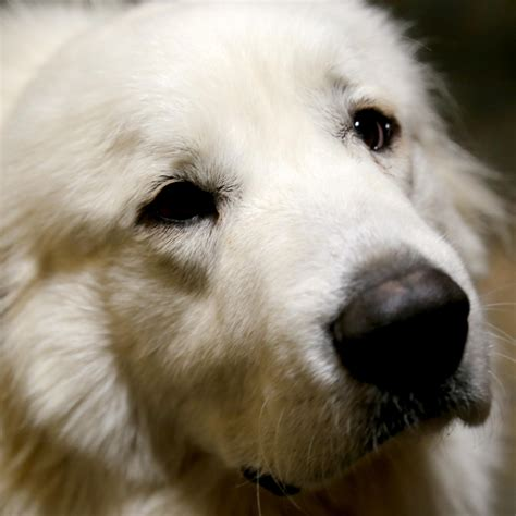 great pyrenees shedding help 100 great pyrenees non shedding great pyrenees