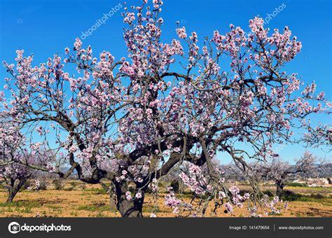 foto mandorlo in fiore mandorli in fiore foto stock 169 nito103 141479654