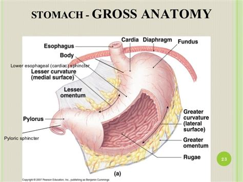 Diagram Of The Lower Esophageal Sphincter by Anatomy And Physiology Of Gi Tract