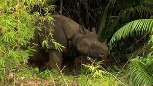Javan Rhino (Rhinoceros sondaicus), Ujung Kulon, Java ...
