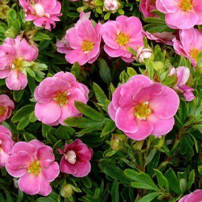 Potentilla fruticosa 'Pink Qeen' Parastā klinšrozīte ...