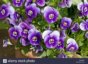 Blue Viola Flowers   www.pixshark.com - Images Galleries ...