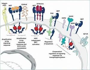 Cell-Autonomous and Non–Cell-Autonomous Mechanisms of HGF ...