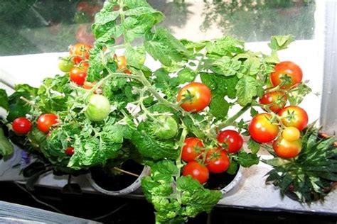 Labākās tomātu šķirnes Maskavas reģionam: ko eksperti iesaka