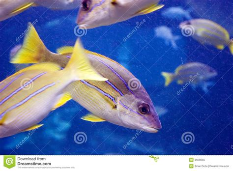 blue striped yellow fish royalty  stock photo image