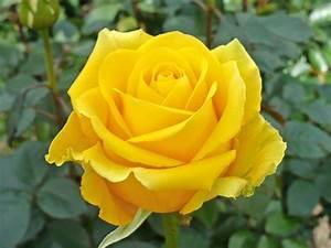 yellow rose wallpaper free download - HD Desktop ...