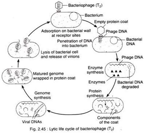 replication of virus lytic and lysogenic cycle